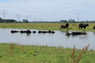 Waterbuffels Noordwaard FreeNature